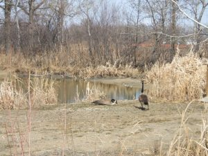 Canada Geese by the pond