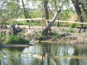 Wild mallards in the pond